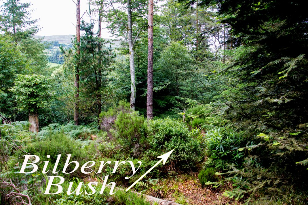 billberryBush