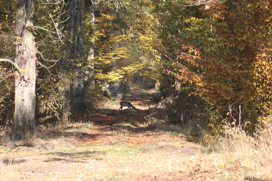hungary-forest-track-deer