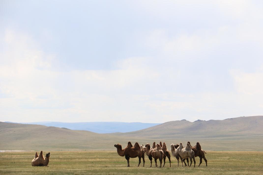camelsmongolia
