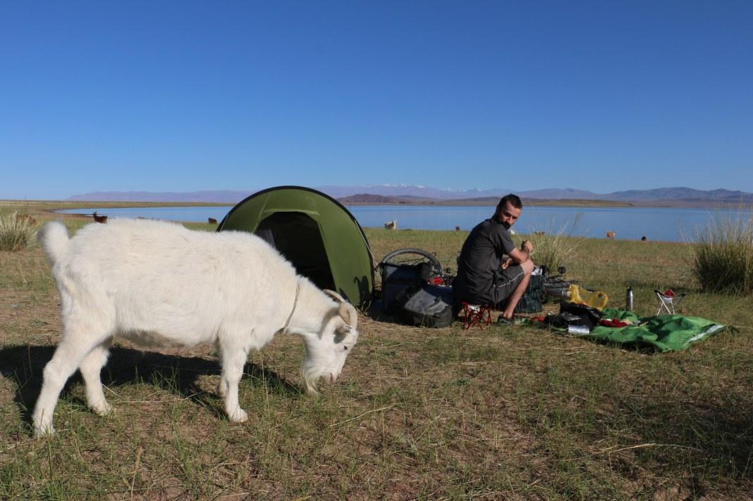 Mongolian goat grazing near a tent.