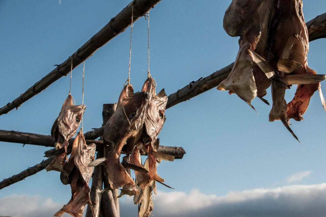 Fish heads hanging from a wooden frame to dry | Crank and Cog cycle tour of Iceland.