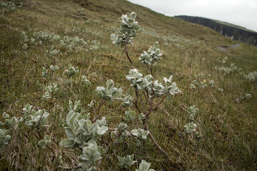 Icelandic dwarf birch | Crank & Cog