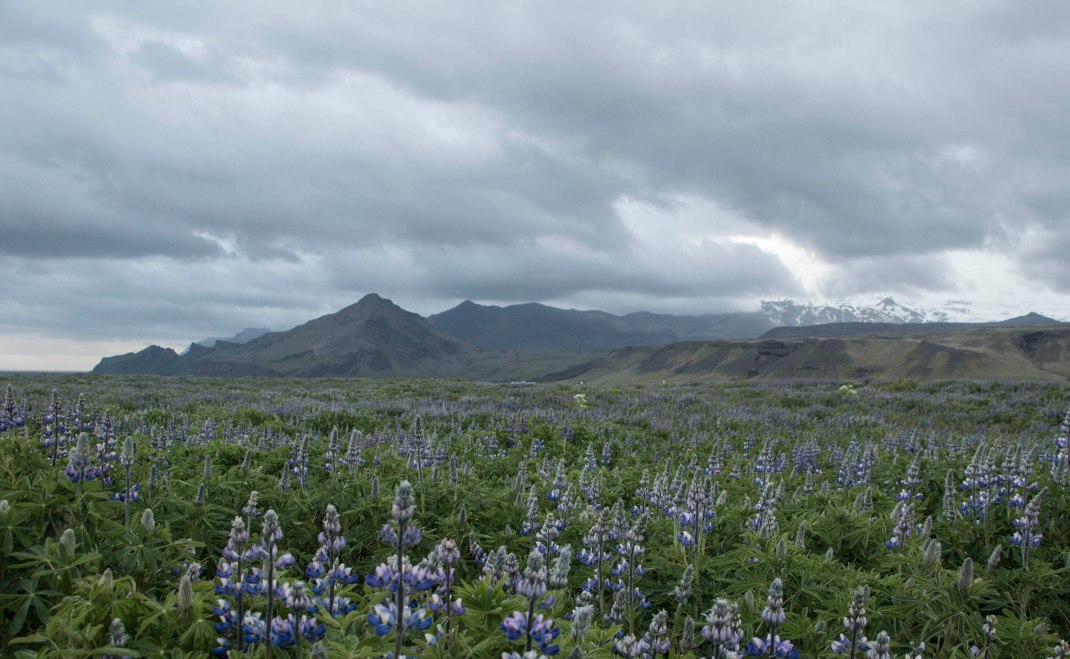 Fields of lupine | Crank & Cog cycle tour of Iceland.