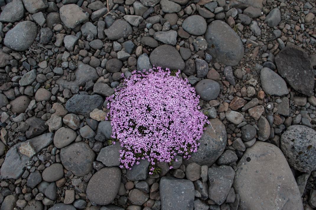 Wild Artic Thyme | Crank & Cog