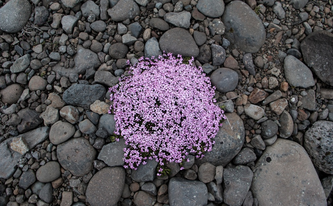 Wild arctic thyme | Crank and Cog cycle tour of Iceland.