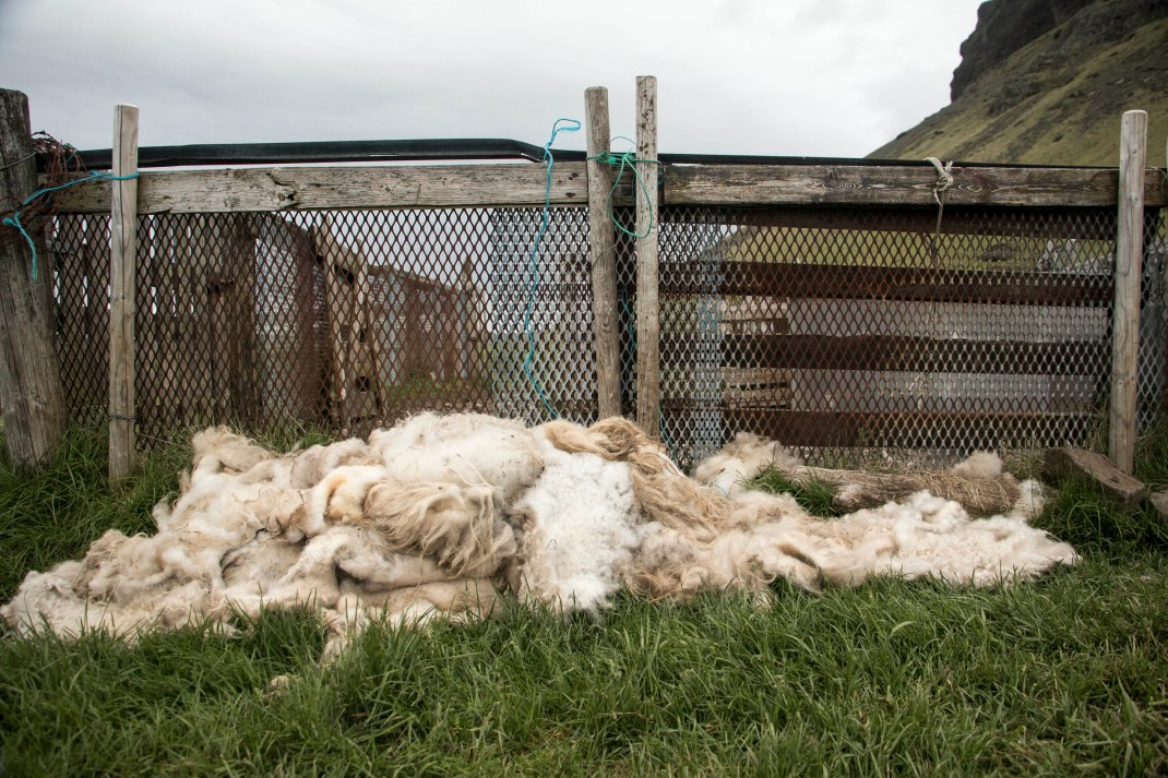 A pile of sheared Icelandic wool | Crank & Cog cycle tour of Iceland.