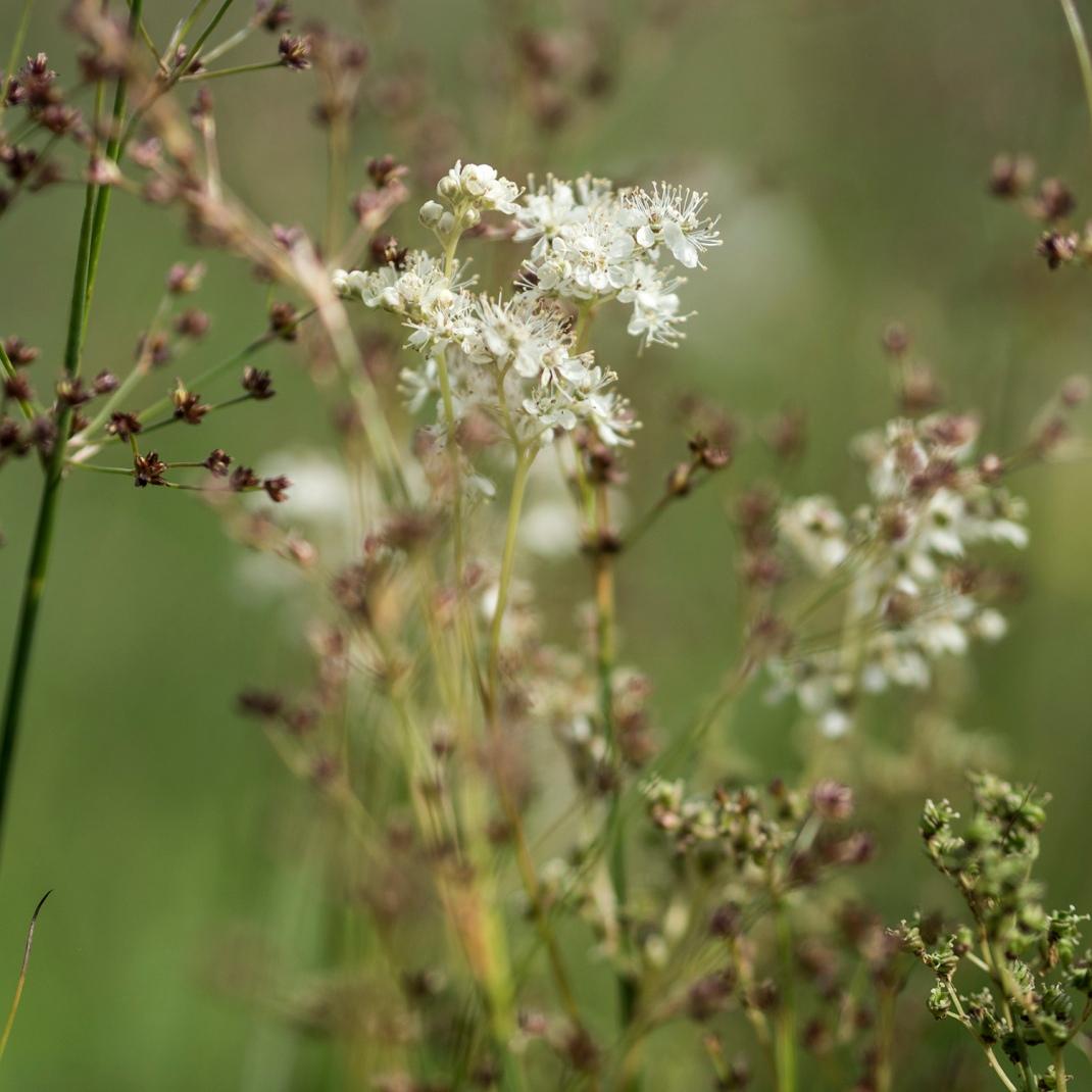 Meadowsweet | Crank & Cog