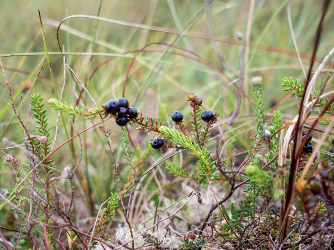 Icelandic Crowberry | Crank & Cog