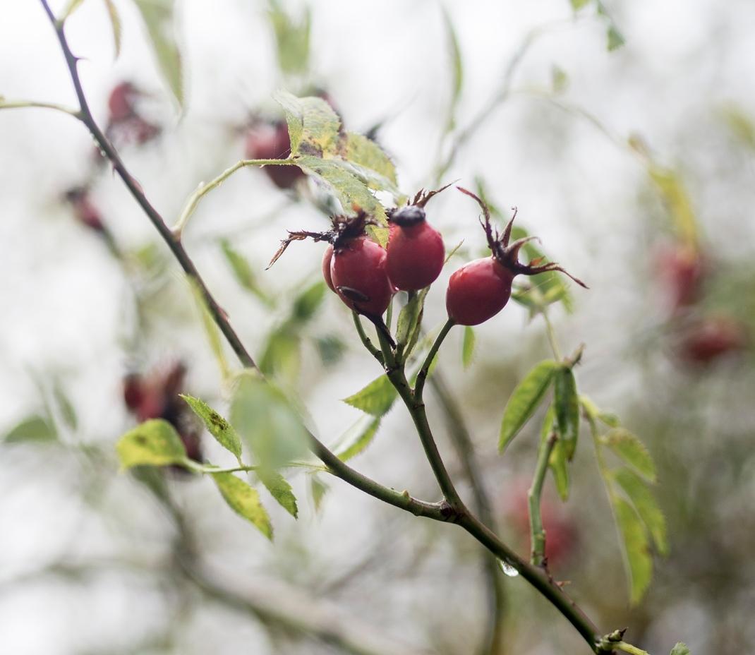 Rose hip berries | Crank and Cog.