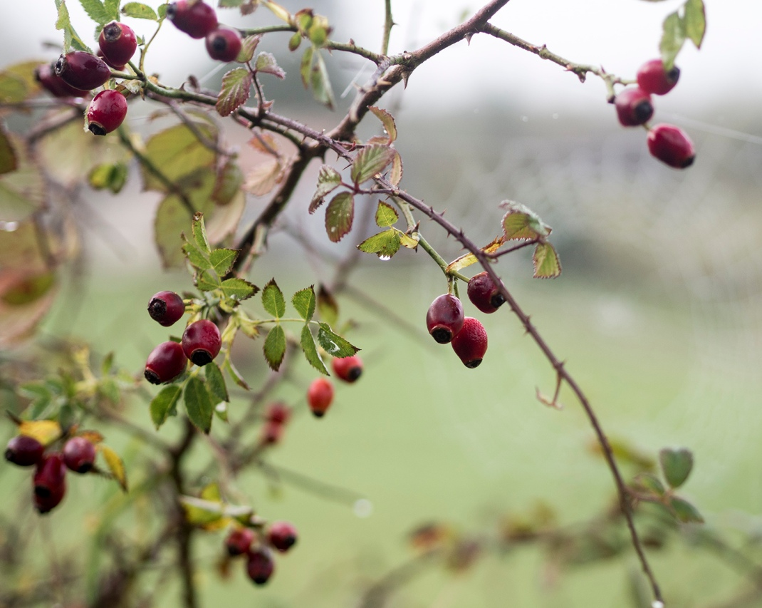 Rose hip bush | Crank and Cog