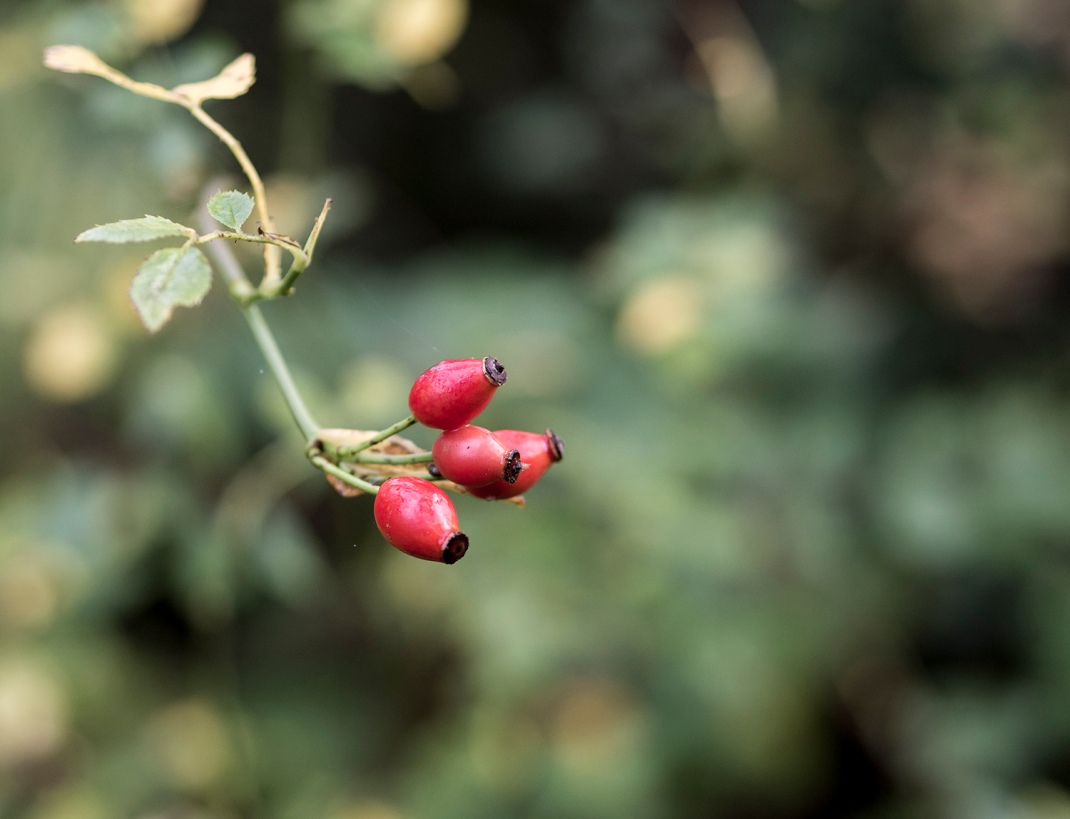 Rose hip berries | Crank and Cog.