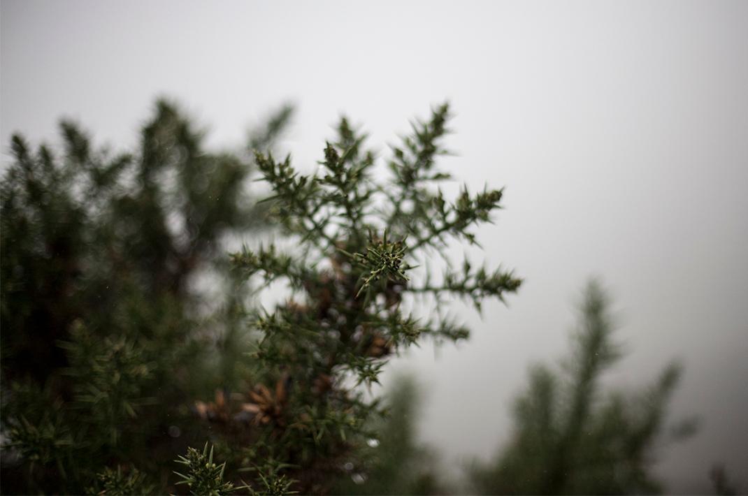 Furz bush
