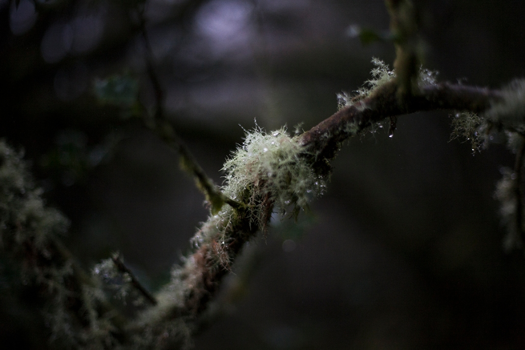 Lichen attached to a tree