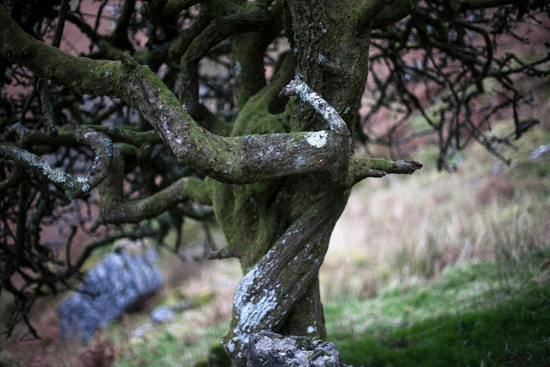 Hawthorn Tree, North West of Ireland