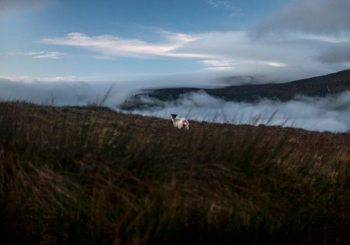 misty arroo sheep